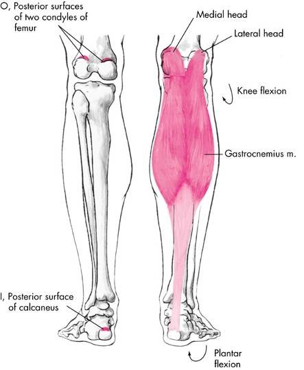 While Standing, The Two Heads Of The Gastrocnemius ...
