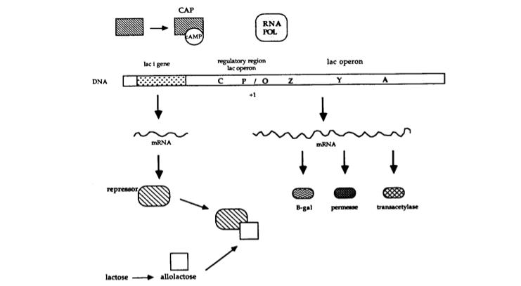 171f7fcd410 CAP RNA POL AMP regulatory region lac operon lac operon lac i gene +1 mRNA.  PART II.