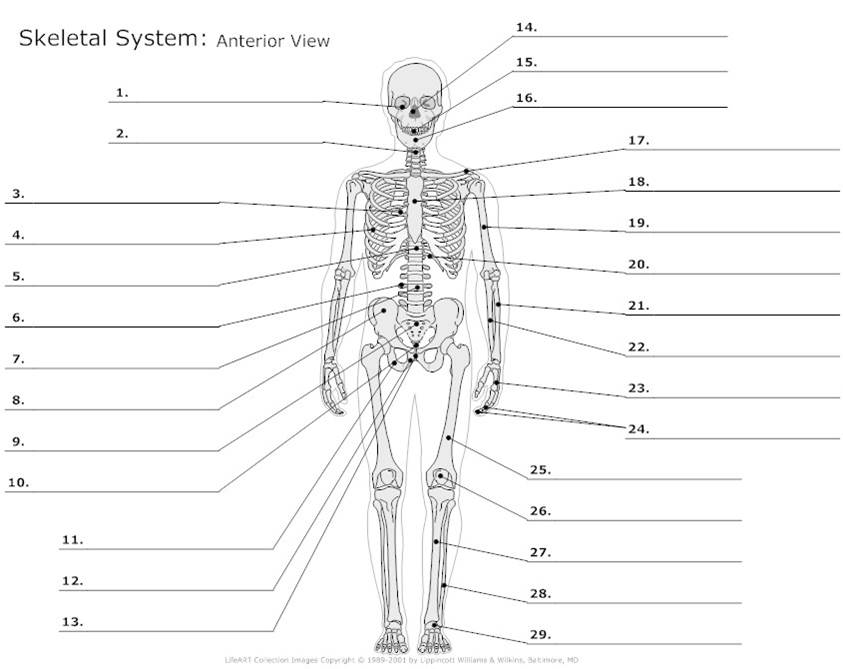 Male Reproductive System Labeled Parts moreover Printable Muscle Diagram together with Motor And Sensory Facial Nerves furthermore Anatomy Directional Terms besides Lo Sternocleidomastoideo. on muscle diagram quiz