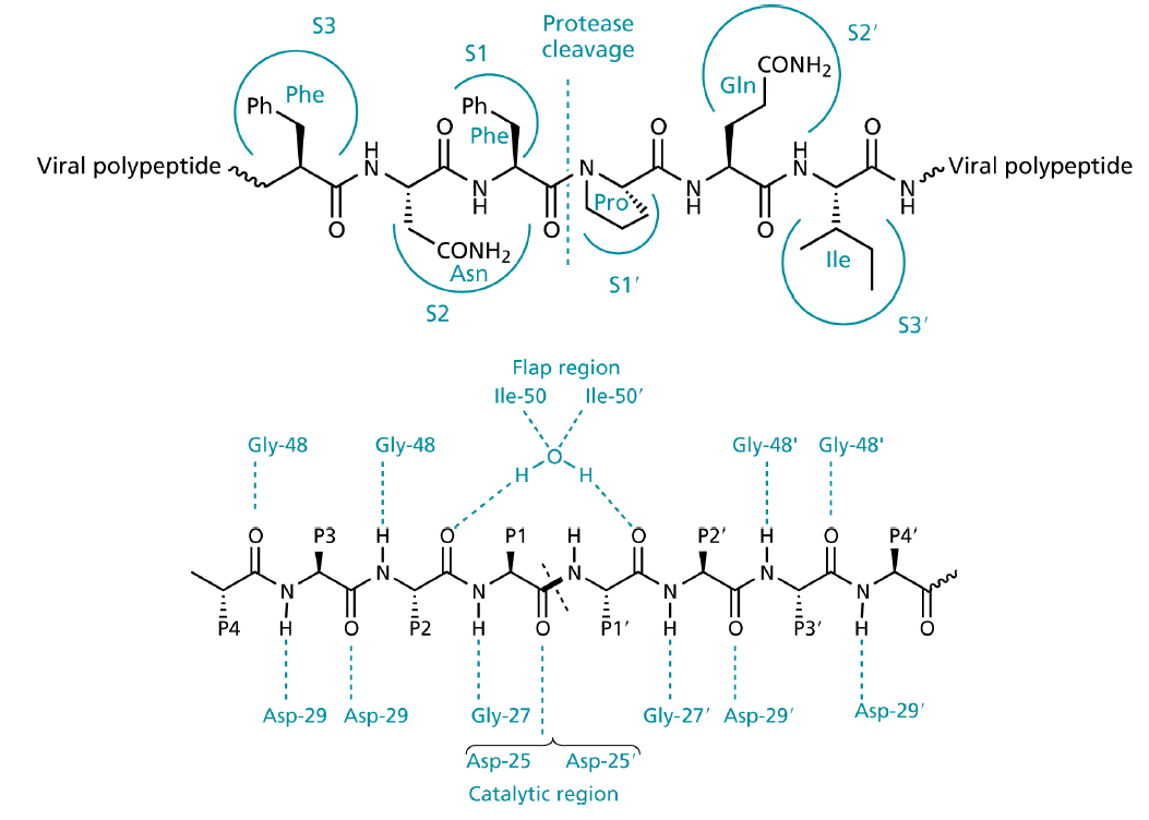 Solved Most Protease Inhibitors Pis Bind To The Active Diagram Of Water Molecule Cleavage S3 S2 S1 Conh2 Gin Ph Phe Viral Polypeptide Pro H