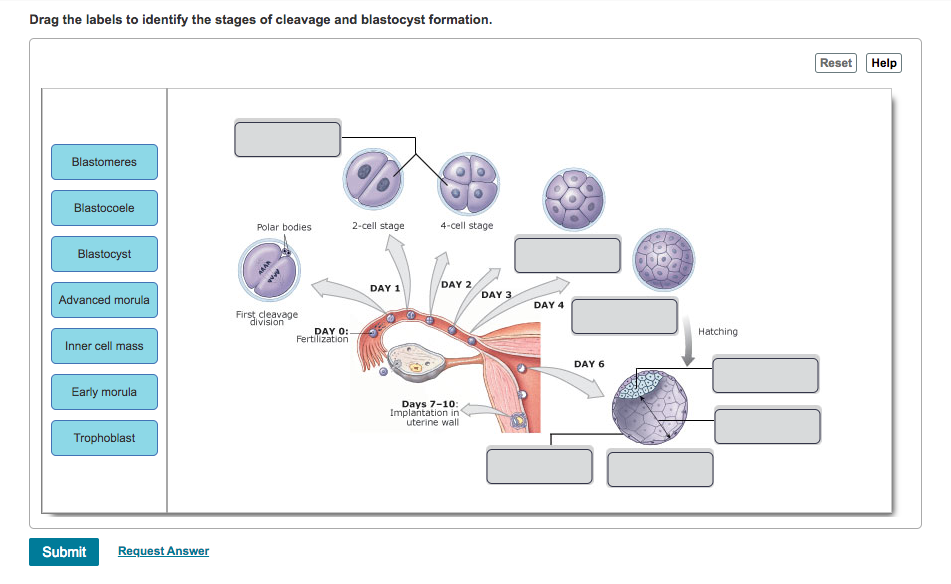 Solved Drag The Labels To Identify The Stages Of Cleavage