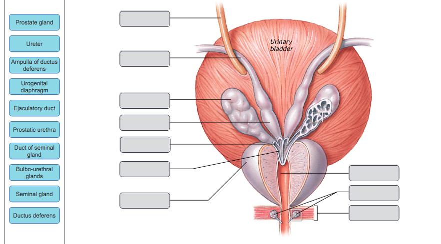Solved Prostate Gland Uri Bladder Ureter Ampulla Of Ductu
