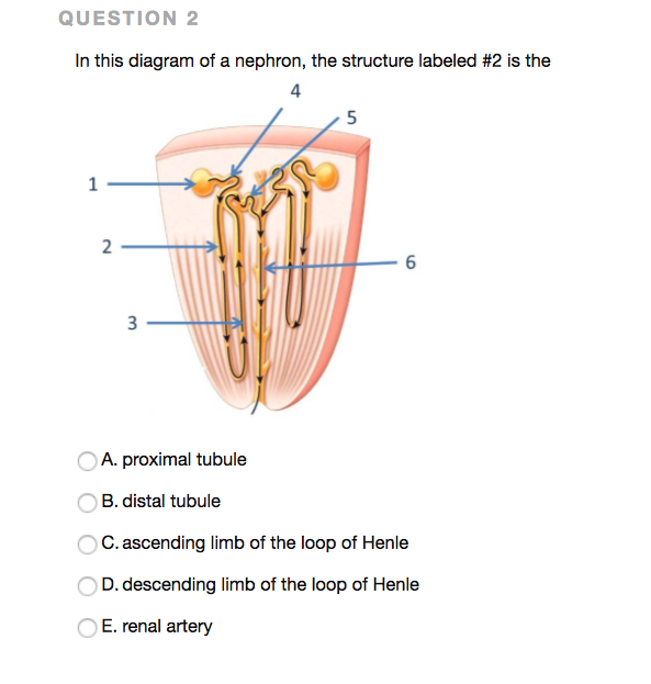 Solved Question 2 In This Diagram Of A Nephron The Struc