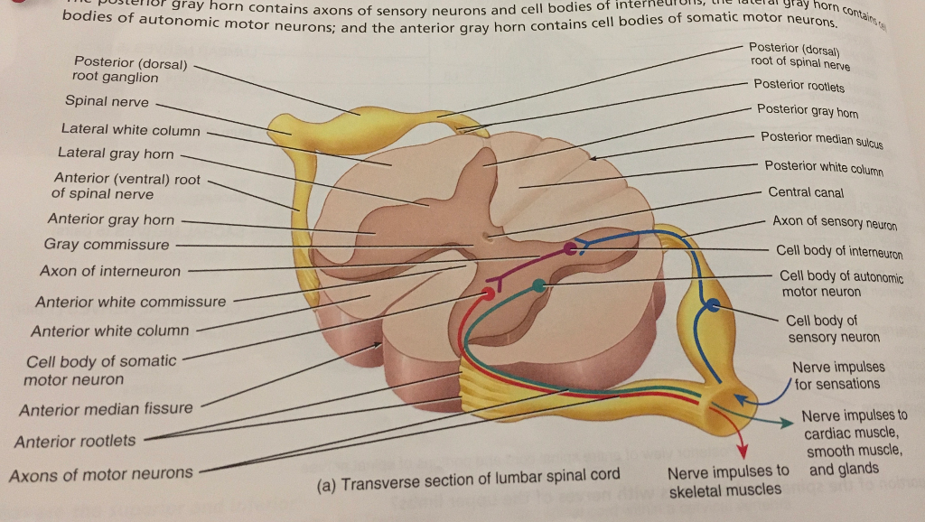 Identified By The Structure Of Each Meninges S Chegg