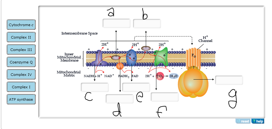 Electron Transport Chain Diagram With Labels Diy Enthusiasts