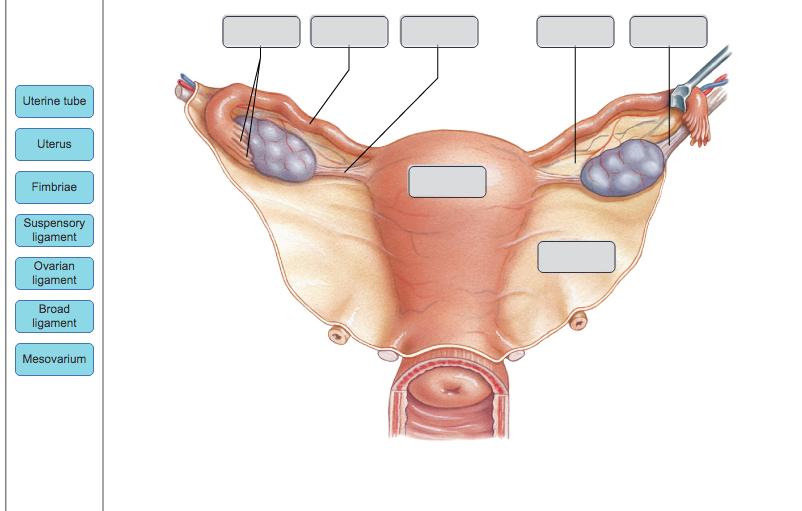 Solved: Uterine Tube Uterus Fimbriae Suspensory Ligament O ...