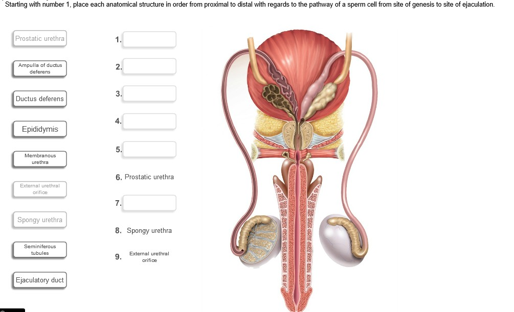 Solved: Starting With Number 1, Place Each Anatomical Stru ...