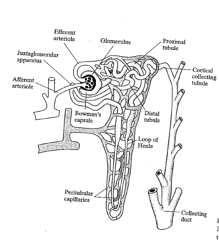 Solved The Renal Tubules In Your Kidney Are Not Straight