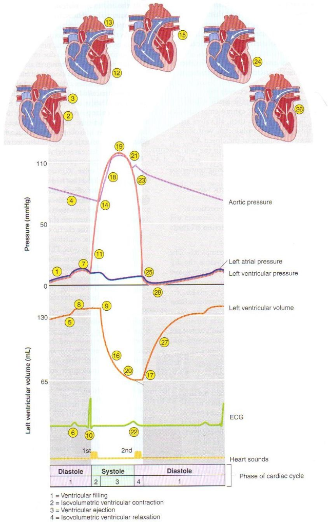 Solved Using The Cardiac Cycle Diagram Provided Above Di