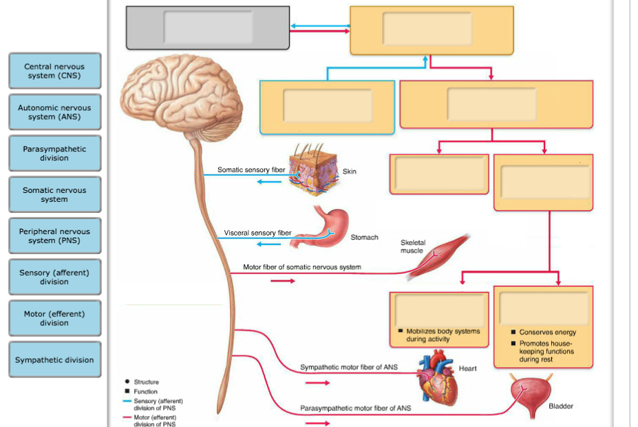 Solved Central Nervous System Cns Autonomic Nervous Sys