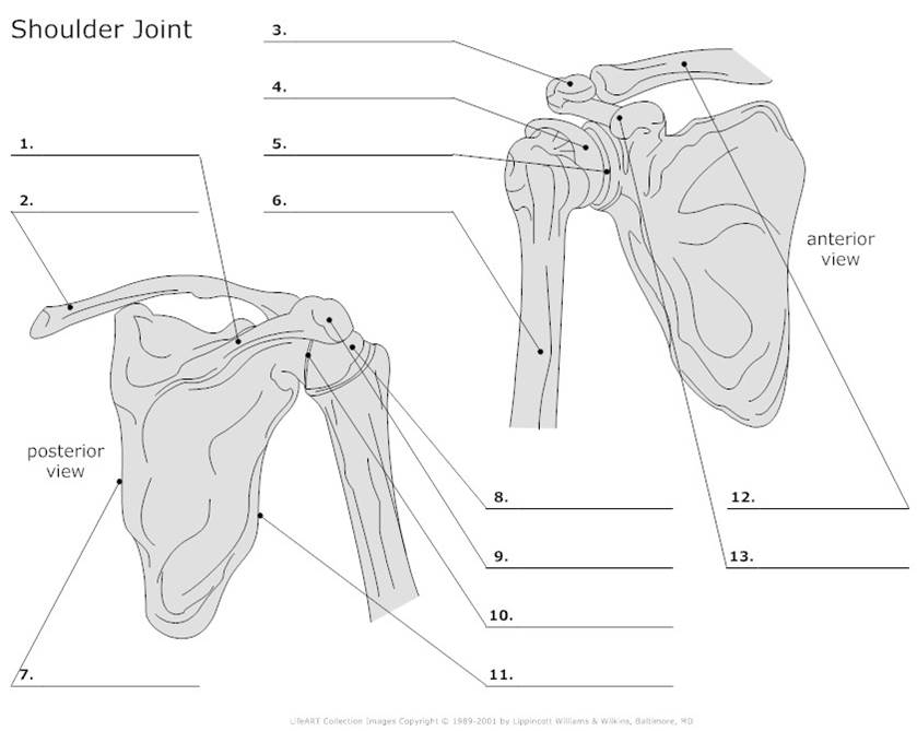 Solved Label The Landmarks What Type Of Bone Is The Scap