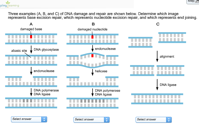 Solved Three Examples A B And C Of Dna Damage And Rep