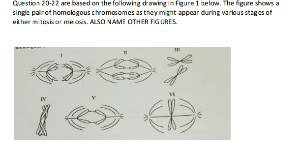 Solved 20 which diagram represents anaphase 1 of meiosis 20 which diagram represents anaphase 1 of meiosis ccuart Images