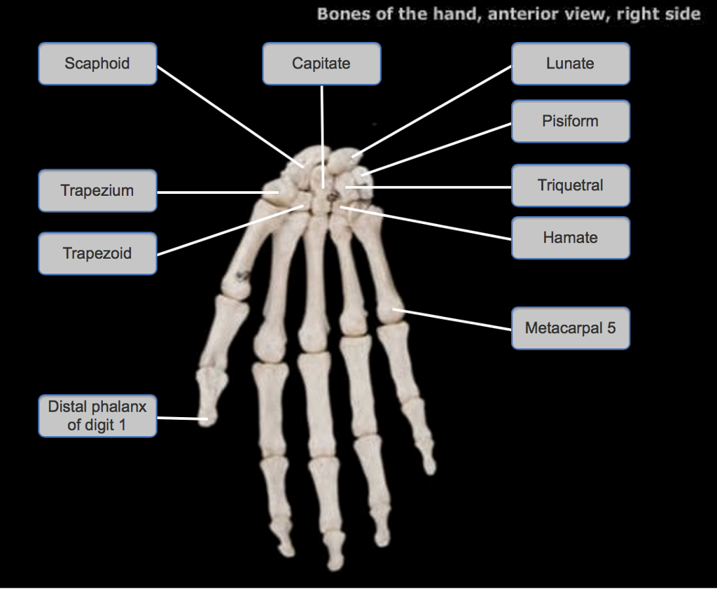 Solved Label The Bones In The Hand It Claims That Two Of