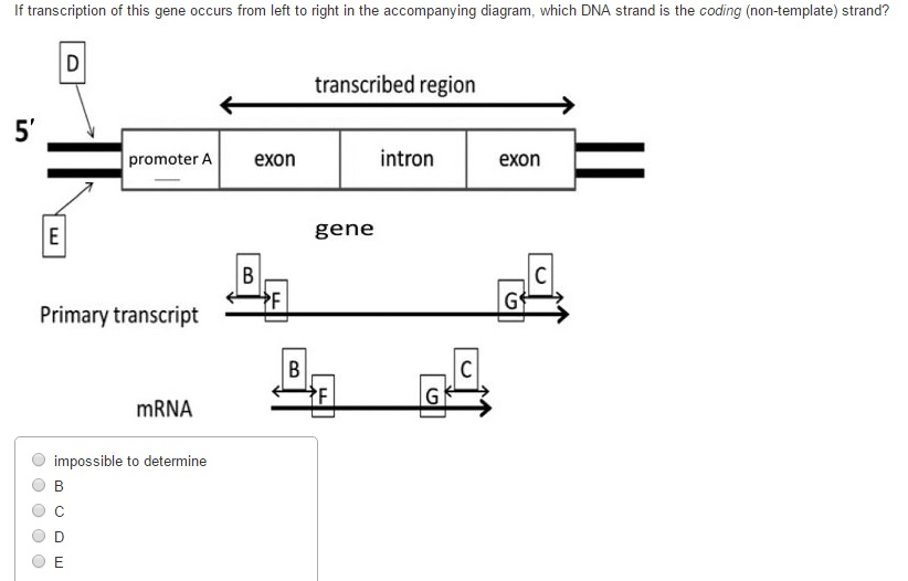 Solved if transcription of this gene occurs from left to if transcription of this gene occurs from left to ccuart Choice Image