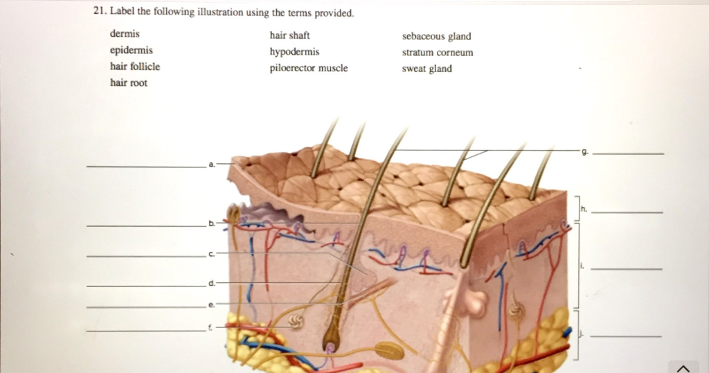 label the following illustration using the terms provided  dermis epidermis  hair follicle hair