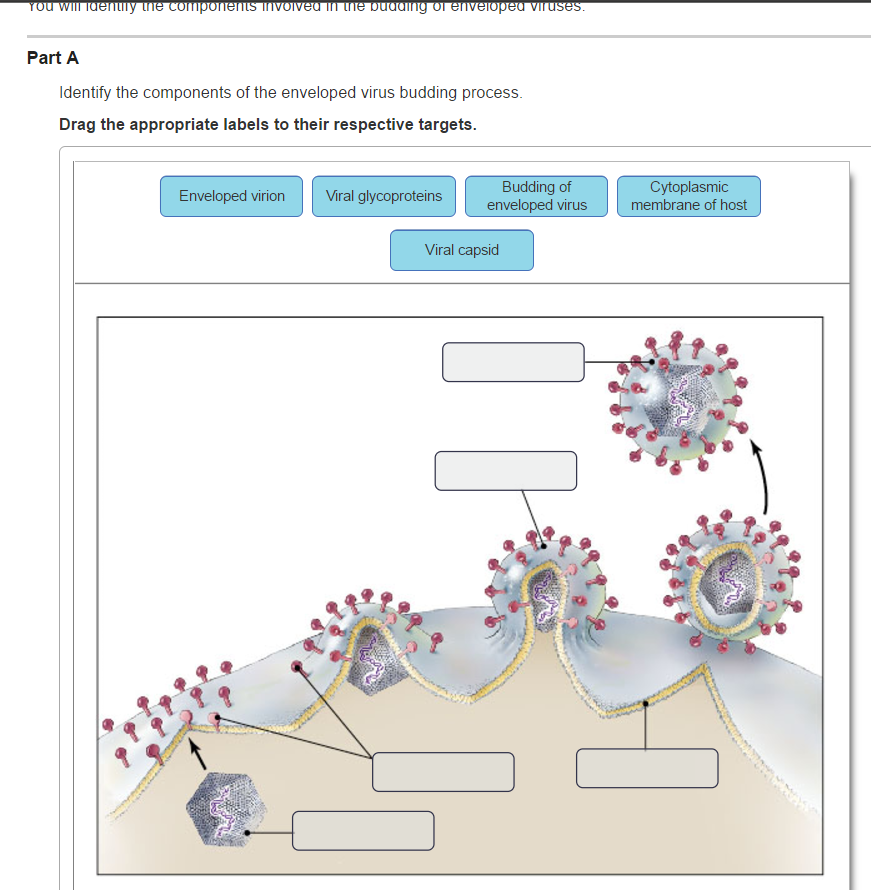 Solved: Identify The Components Of The Enveloped Virus Bud
