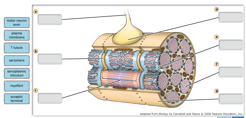 Solved: Each Muscle Cell Is In Contact With A Single Motor ...