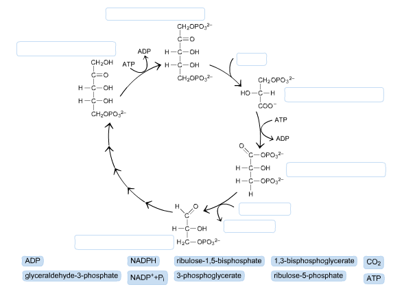 Solved  Label The Diagram Of The Calvin Cycle  Not All Lab