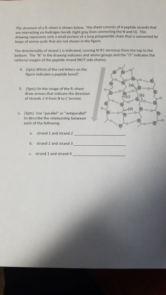 Solved: The Structure Of A β sheet Is Shown Below. The She