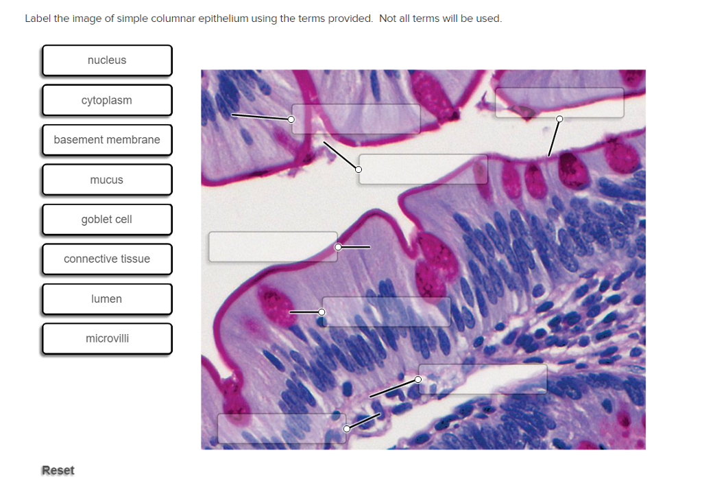 Solved: Label The Image Of Simple Columnar Epithelium Usin ...