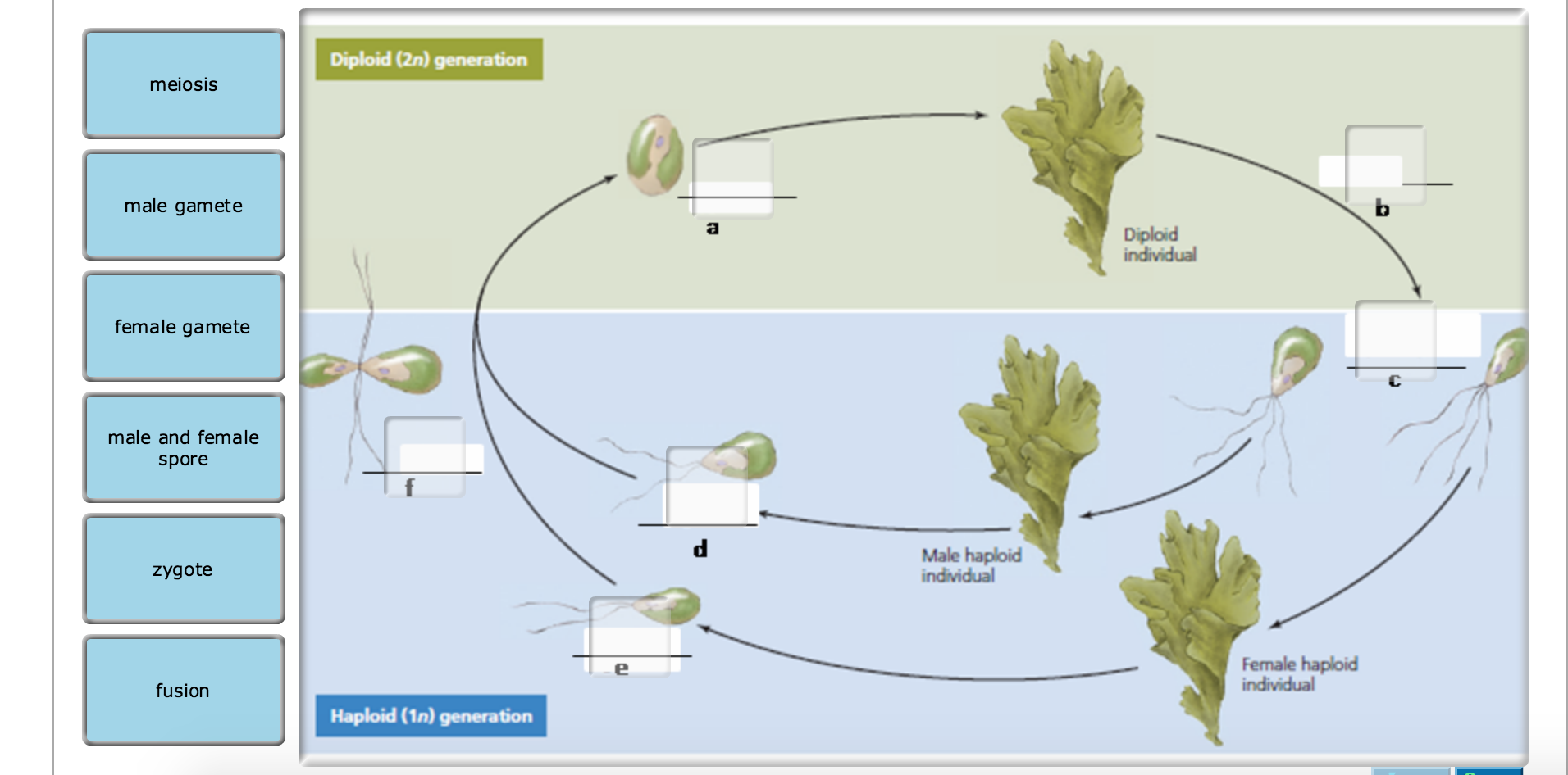 alternation of generations in algae and fungi relationship