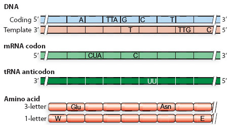 what is a template strand - solved a complete the coding strand of dna sequence mu