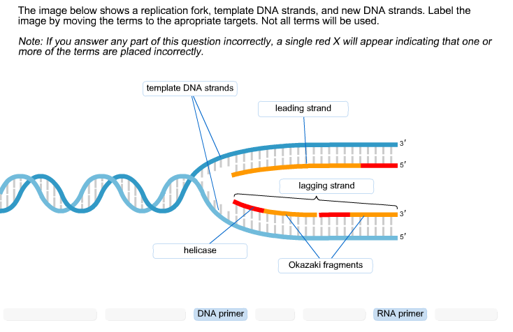 Solved the image below shows a replication fork template for What is a template in dna