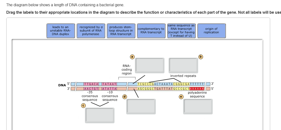 The diagram below shows a length of dna containing chegg question the diagram below shows a length of dna containing a bacterial gene drag the labels to their ap ccuart Images