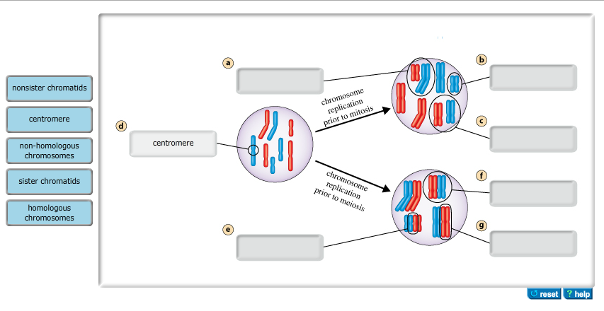Solved This Diagram Shows A Diploid Nucleus 2n8 In Whi