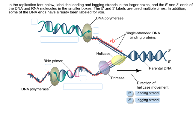 labeled diagram of dna replication - 28 images - basics of ...
