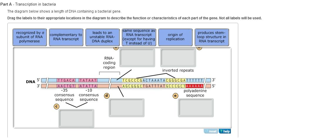 Transcription in bacteria the diagram below shows chegg question transcription in bacteria the diagram below shows a length of dna containing a bacterial gene dr ccuart