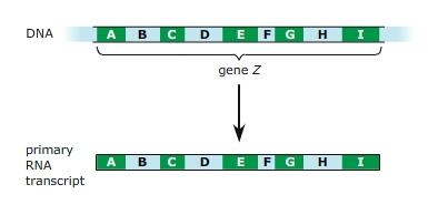 Solved the diagram below shows a segment of dna containin the diagram below shows a segment of dna containin ccuart Choice Image