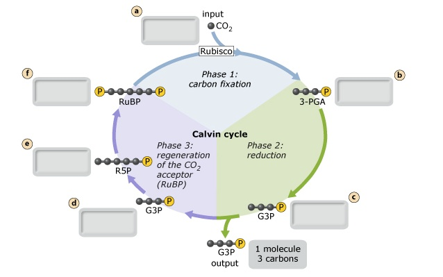 Solved The Net Reaction Of The Calvin Cycle Is The Conver