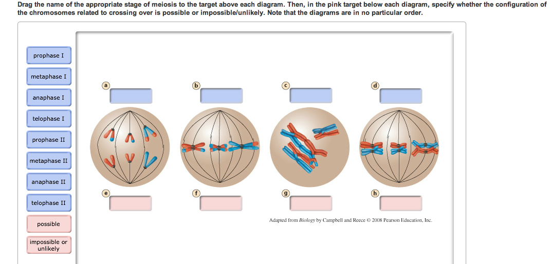Solved drag the name of the appropriate stage of meiosis drag the name of the appropriate stage of meiosis ccuart Gallery