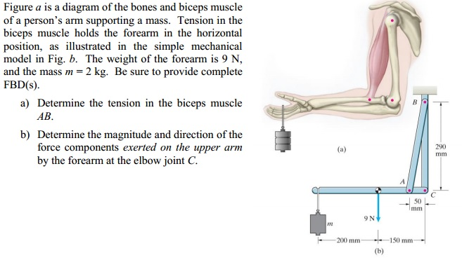 Solved: Figure A Is A Diagram Of The Bones And Biceps Musc ...