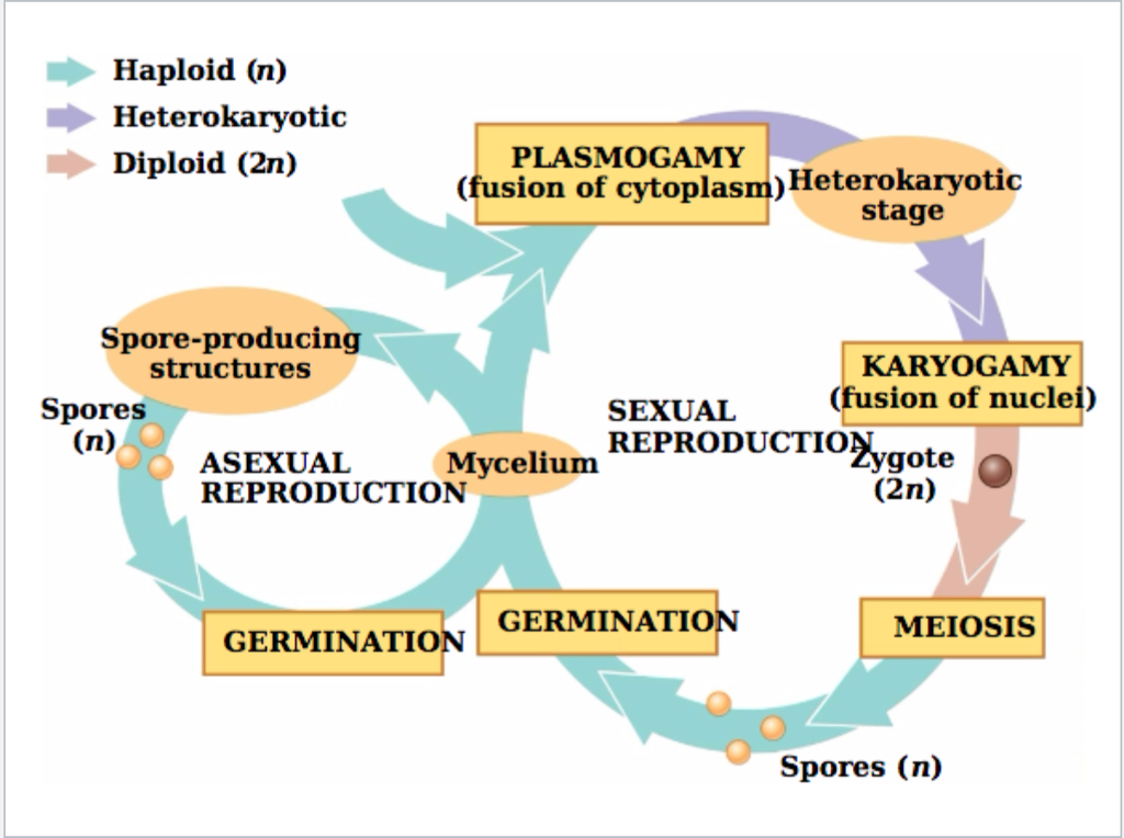 Asexual and sexual reproduction in fungi